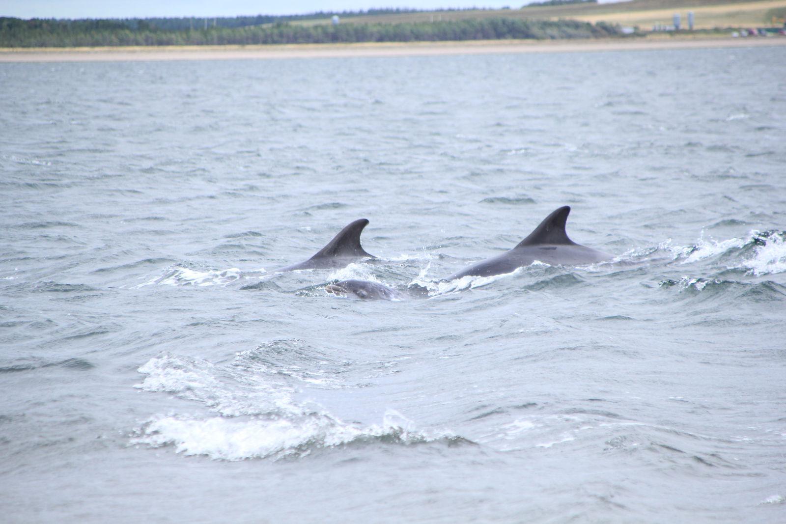 dofins a Fortrose