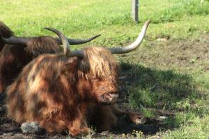 vaques escoceses